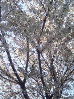 おとといの桜