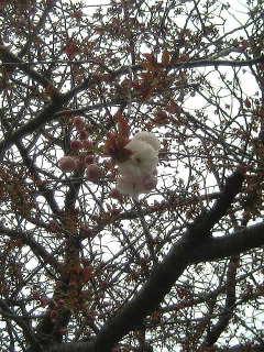 第2弾の桜のシーズン到来