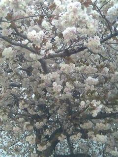 先日の八重桜