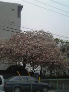 八重桜の全体写真